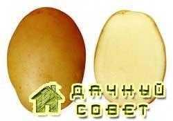 Сорт картофеля Ладожский