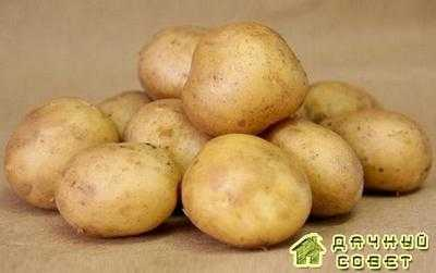 Сорт картофеля Никита (Nikita)