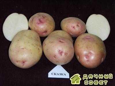 Сорт картофеля Сказка
