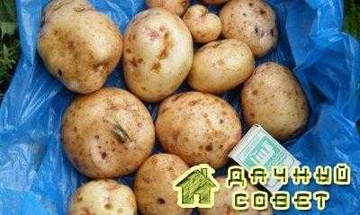 Сорт картофеля «Свитанок Киевский»