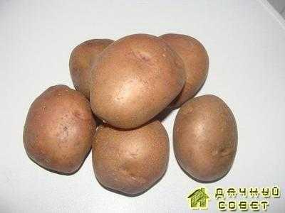 Сорт картофеля Зарево