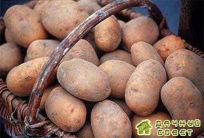 Сорт картофеля сентябрь