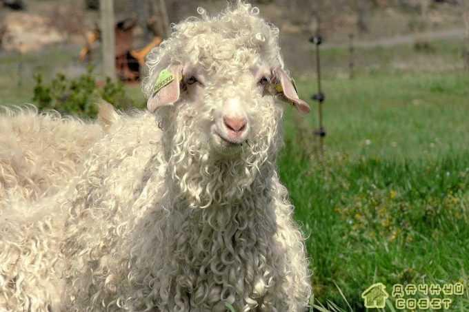 Советская шерстная порода коз