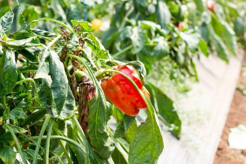 Столбур помидоров, перца, баклажанов