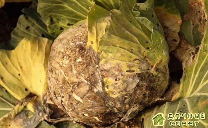 Сухая гниль стебля и корней (фомоз)