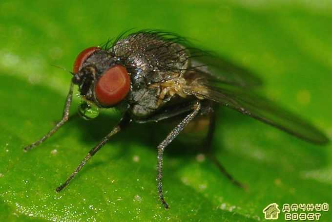 Свекловичная минирующая муха