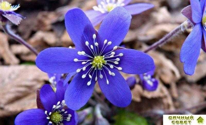 Цветы печеночница благородная