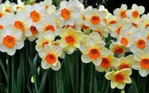 Тюльпан (Tulipa L.)