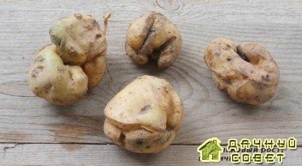 Вторичный рост картофеля
