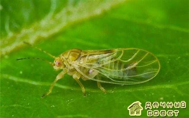 Яблонная медяница (листоблошки)