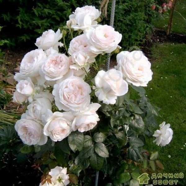 чайно-гибридная роза Sebastian Kneipp'