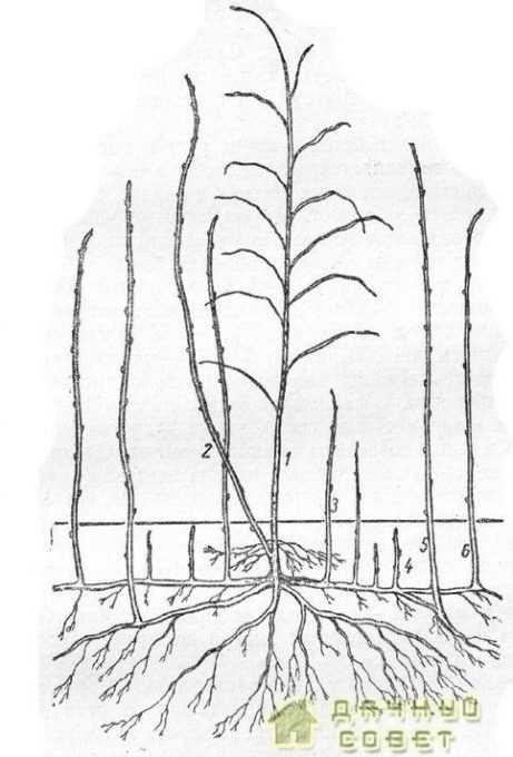 1— двухгодичный oтподоносившнй стебель; 2 — одногодичный не плодоносивший стебель — побег замещения; 3 — корневой отпрыск вблизи куста; 4 — корневой отпрыск, не вышедший на поверхность; 5 и 6 — сильные корневые отпрыски, используемые в качестве посадочного материала