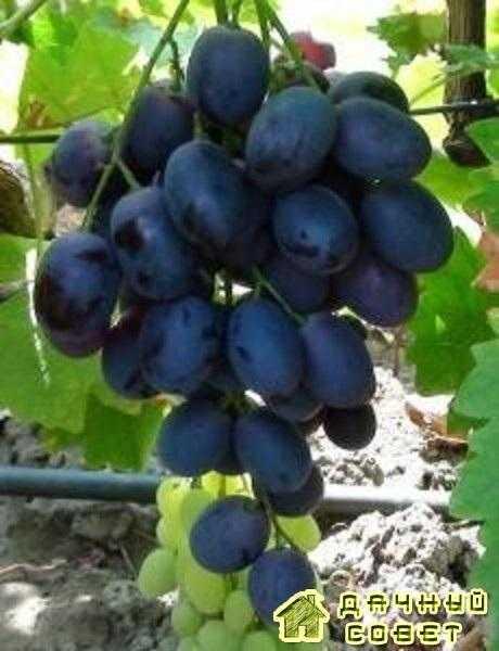 """Сорт винограда """"Аттила"""""""