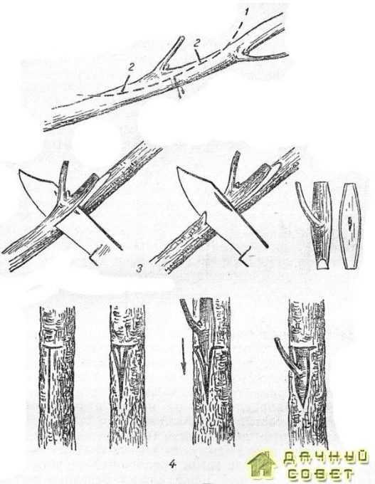 Детали срезки и вставка щитка при окулировке1 — линия движения ножа; 2— линия отреза щитка; 3 — срезка 4 — Т-образный разрез и вставка щитка.щитка;