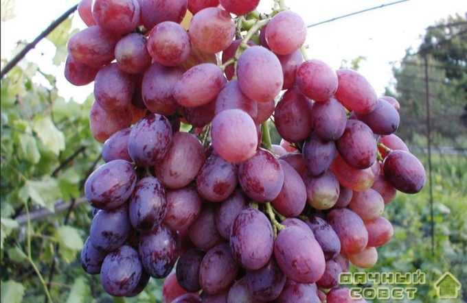 "Сорт винограда ""Кишмиш лучистый"""