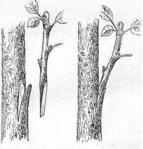 Летняя прививка черенком, взятым непоственно с дерева