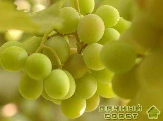 "Сорт винограда ""Мускат янтарный"""