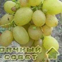 """Сорт винограда """"Мускат жемчужный"""""""
