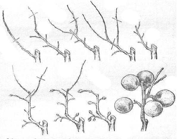 Обрезка боковых побегов на обрастающую древесину (черточками показаны места обрезки в зависимости от характера разветвления ветки)