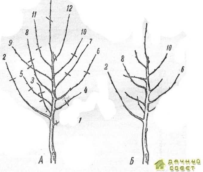 Обрезка после посадки саженца, формируемого по комбинированной системе:А — саженец до обрезки (черточками показаны места подрезки); Б — саженец после обрезки; боковые ветки 2, 6, 8 и 10 оставлены как скелетные сучья первого порядка; ветки 3, 4, 5, 7, 9 и 11 укорочены на обрастающую древесину; ветки 1 и 12 вырезаны на кольцо