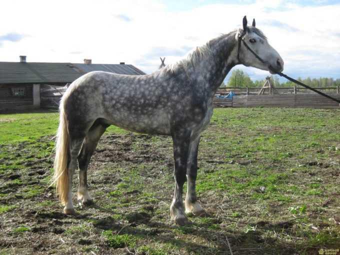 Орловская рысистая порода лошадей