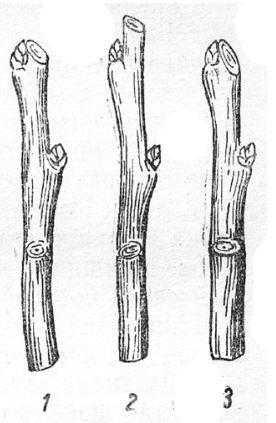 Подрезка побега на почку: 1 — правильно; 2 — неправильно (оставлен шипик); 3 — неправильно (низкий и косой срез по отношению к почке)
