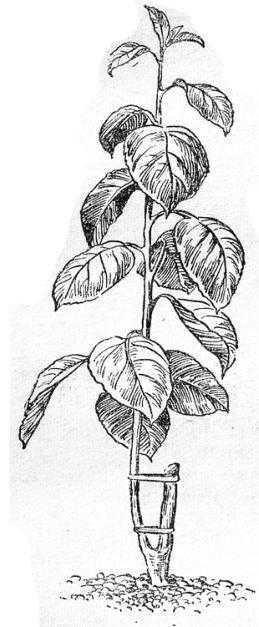 Подвязка привитого растения к шипу