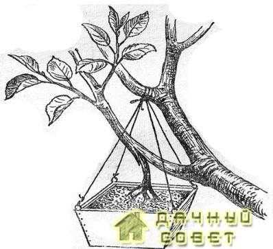Получение отводка в кроне дерева при помощи привитого корешка