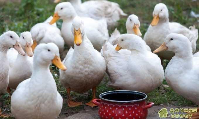 Порода пекинские утки