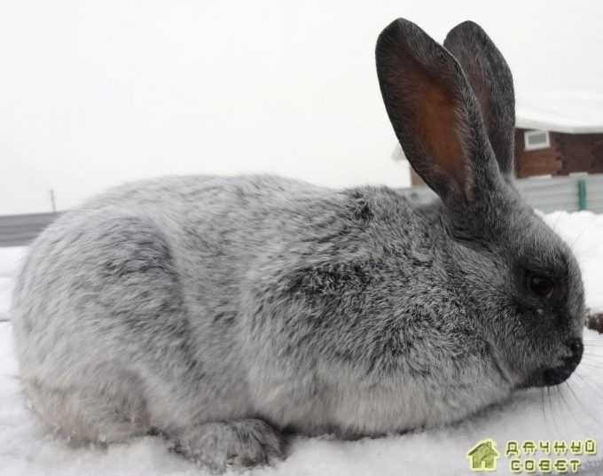 Порода серебристый кролик