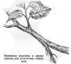 Прививка корешка в дерева для получения отводков