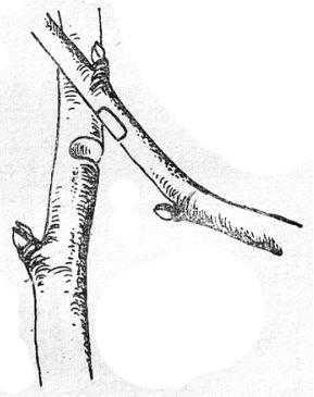 Прививка сближением при косом положении привоя и подвоя различной толщины