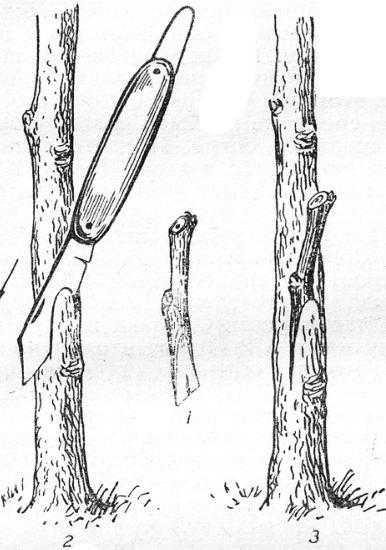 Прививка в косой боковой зарез:1 — подготовленный черенок; 2— выполнение зареза на подвое; 3 — вставленный черенок