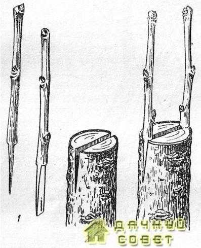 Прививка в полный расщеп1 — подготовленные черенки; 2 — расщеп на подвое; 3— подвой с вставленными черенками