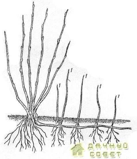 Размножение смородины отводками1 — молодые побеги, выросшие из почек пришпиленного побега; 2 — пришпиленный побег
