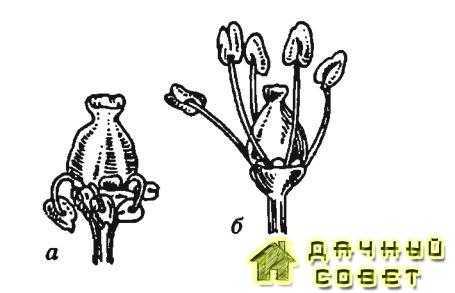 Рис. 2. Типы цветков:а — функционально женский,б — обоеполый