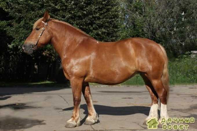 Русская тяжеловозная порода лошадей