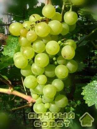 "Сорт винограда ""Шасла белая"""