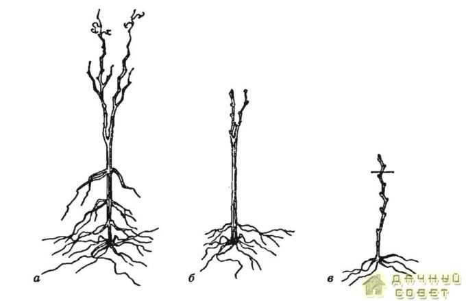 Саженцы: а —выкопанный из школки; б — подготовленный к посад- ке; в — выращенный из укороченного черенка (чубука)