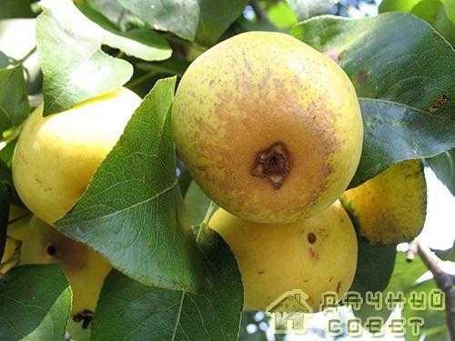 Сорт груши Лимонка