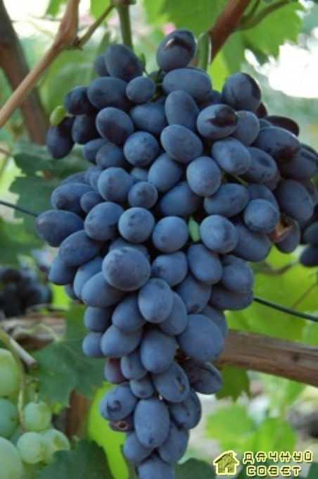 Сорт винограда «Декабрьский»