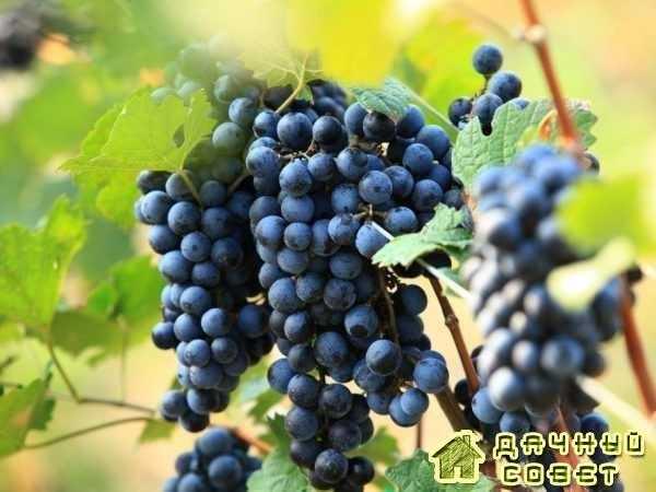 Сорт винограда «Фиолетовый авигановский»