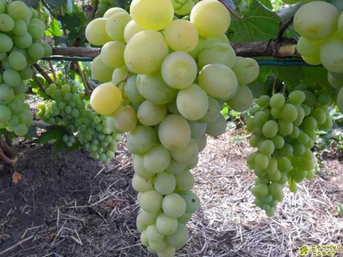 """Сорт винограда """"Фрумоасе албэ"""""""