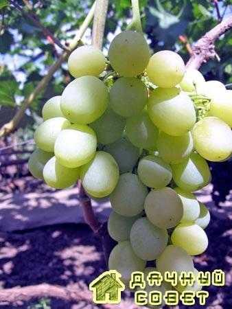 "Сорт винограда ""Карабурну"""