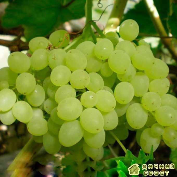 """Сорт винограда """"Киргизский ранний"""""""