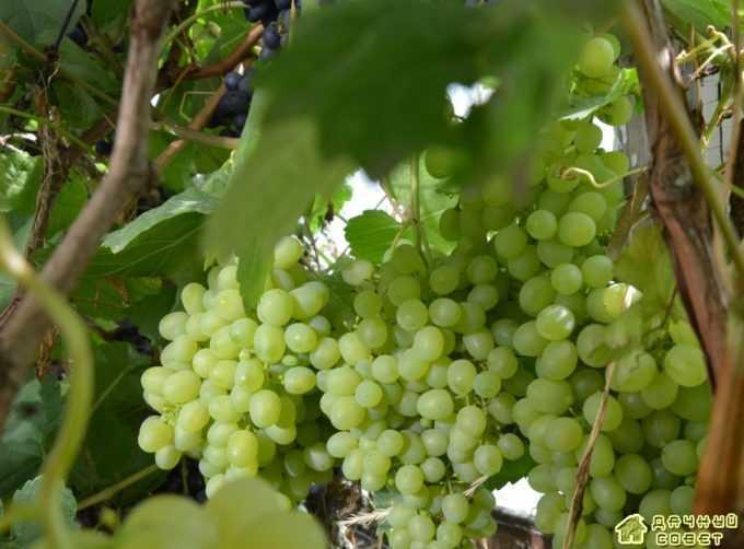 Сорт винограда «Краса Севера «(Ольга)