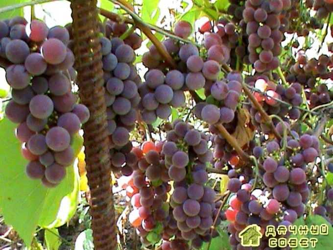 Сорт винограда «Лидия»