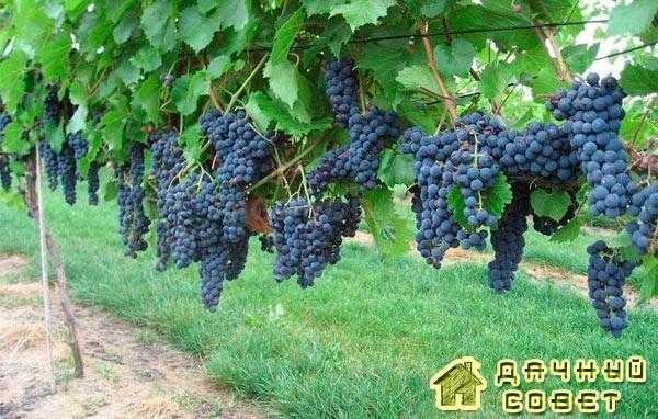 Сорт винограда «Металлический»