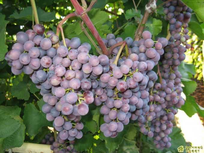 Сорт винограда «Муромец»