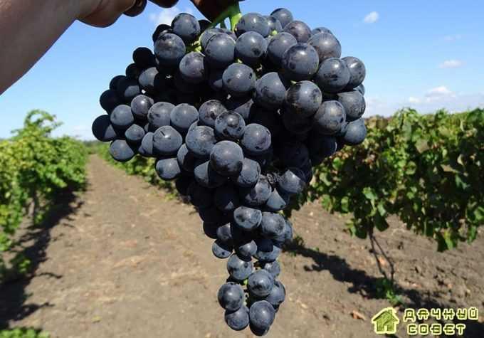Сорт винограда «Северный»